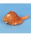 Strandschelp Cemapium 8 cm